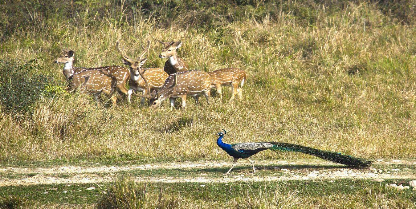 wild-ife-in-chitwan-national-park