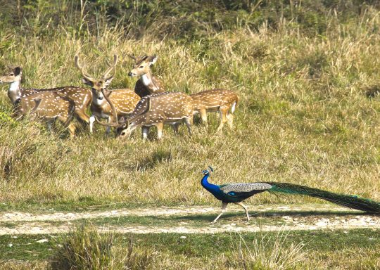 wild-ife-in-chitwan-national-park
