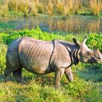 Rare one horned rhino
