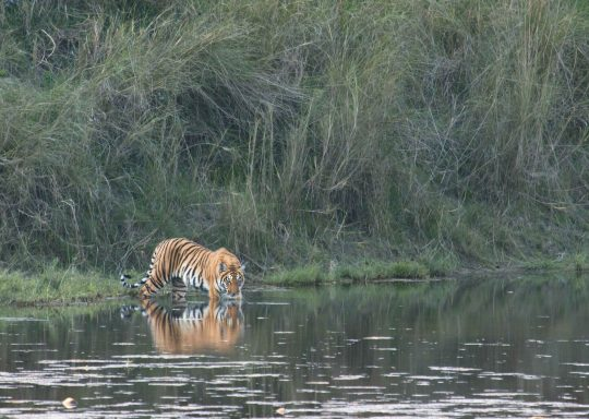 Royal-Bengal-Tiger-in-Chitwan-national-park